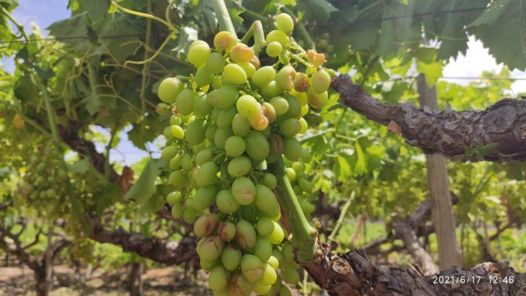 Un granizo de unos 30 milímetros caído en 20 minutos ha dañado principalmente la uva aledo