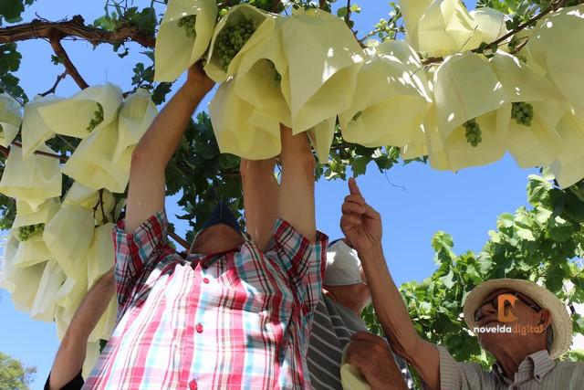 Agricultores del municipio embolsan los racimos de uva de las parras de la rotonda Juan XXIII