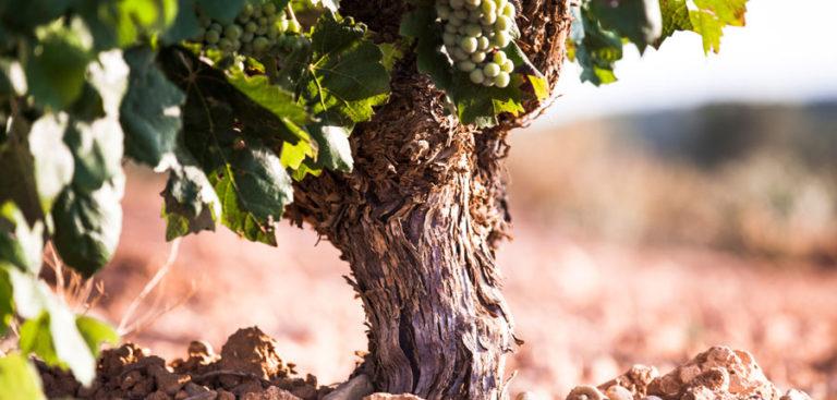 LA UNIÓ de Llauradors espera un descenso de entre el 5% y el 10% en la próxima cosecha de uva de vinificación en la Comunitat Valenciana